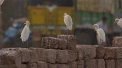 Three Cattle Egret on bricks Stock Footage
