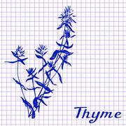 Thyme. Botanical drawing on exercise book background Stock Illustration