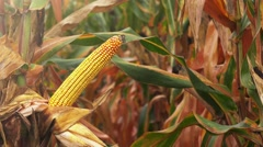 Ripe corn on the cob in cultivated field Stock Footage