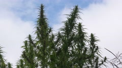 Cultivated hemp field Stock Footage