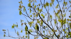 Walnut flowers blooming on walnut tree branch in early springtime Stock Footage