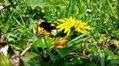 Bumblebee eating pollen, closeup Stock Footage