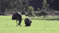 Two emu eating Stock Footage