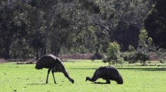 Two emu eating isolated Stock Footage