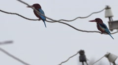 White-breasted Kingfisher Stock Footage