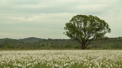 Timelapse view of lonely green tree standing in the daffodils meadow, which are Stock Footage