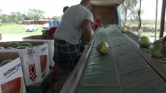 Latino men load watermelons into huge cartons after grading, 4K. Stock Footage