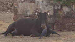 Cow lies near the crows Stock Footage