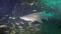 Sand Tiger Shark with hook in mouth Stock Footage