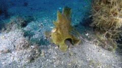 Yellow Frogfish on sandy bottom Stock Footage