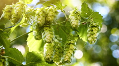 Closeup of hop cones. Agriculture and beer making concept. 4K Stock Footage