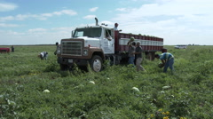 Young Latino workers load watermelons onto truck in a Texas field, 4K Stock Footage