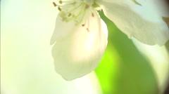 Macro Apple flowers, apple tree blooming in spring orchard. Stock Footage