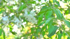 Apple tree blooming in spring orchard. Stock Footage
