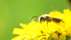 Dandelion flower on the field and honey bee working extreme closeup Stock Footage