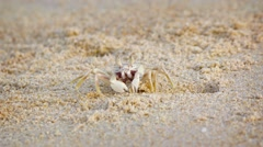 Funny crab digs a hole in the sand on a tropical beach Stock Footage