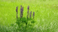 Clustered Specimen of Wild Lupinus in a Field. 4k UltraHD footage Stock Footage