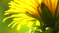 Dandelion flower on the field extreme closeup, macro. Stock Footage