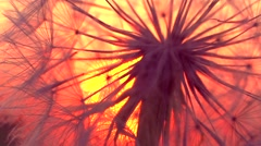 Dandelion over sunset background. Stock Footage