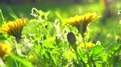 Dandelion flowers in the park, field closeup, macro Stock Footage