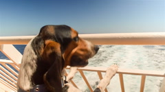 Hunt dog in ship leaving port going on summer vacations looking at the sea. Stock Footage