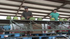 Two latino men stand behind conveyer and check watermelons, 4K. Stock Footage