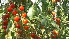 Mature Tomatoes Vegetable Garden Organic Tomato 4k farm chemical free no GMO Stock Footage