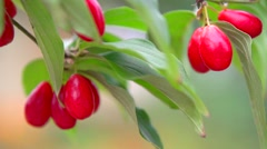 Sweet and ripe dogberry (cornel berries) with leaves close up. Stock Footage
