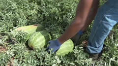 Latino boys collect watermelons and load onto a truck in Texas, 4K. Stock Footage