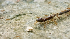 Ants together carry a dead earthworm Stock Footage