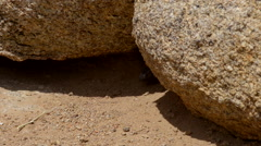 Chuckwalla Lizard Alabama Hills close-up Stock Footage