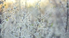 Spring blossom. Beautiful blooming trees in orchard, spring flowers. Stock Footage