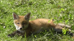 Fox cub laying in sun Stock Footage