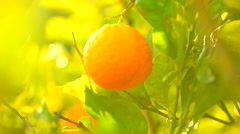 Ripe oranges or tangerines hanging on a tree Stock Footage