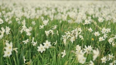 Calm protected daffodil meadow, close up view. Gorgeous nature. Landscape. No Stock Footage