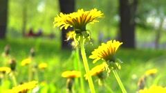 Dandelion flowers in the park, field closeup, macro. Stock Footage