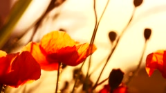 Poppy field. Blooming Poppies. Flowers. Stock Footage