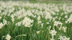 Charming close up view of Red List narcissus flowers. Amazing landscape. No Stock Footage