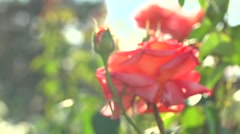 Beautiful blooming red roses flower in the garden. Arkistovideo