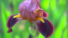 Iris flowers blooming in a garden. Stock Footage