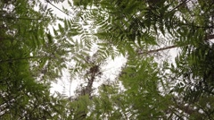 Gazing Skyward from beneath Fern Undergrowth in Pine Forest, with Sound Stock Footage