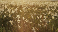 Protected white spring narcissus meadow in a bright sunshine. Spring landscape Stock Footage