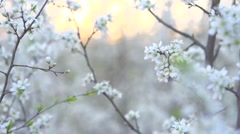 Spring blossom. Beautiful blooming trees in orchard Stock Footage