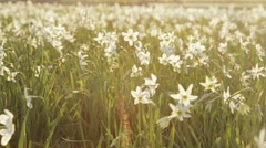 Divine nature, saving protected fragile daffodils. Blossoming of white narcissus Stock Footage