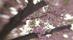 Spring blossoms. Blossom on a Japanese cherry tree. Spring landscape. No people Stock Footage