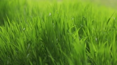 Green grass swaying in the strong wind. No people around. Outside shooting Stock Footage