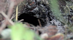 Nest of wasp (Vespula vulgaris) Stock Footage
