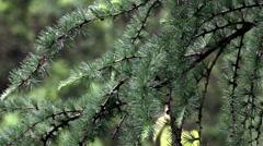 Larch branch (Larix decidua polonica) Stock Footage