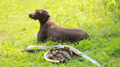 Pointing dog, brown color, kurtshaar near the gun and prey. Stock Footage