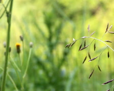Close-up meadow fescue (Festuca pratensis) Stock Footage